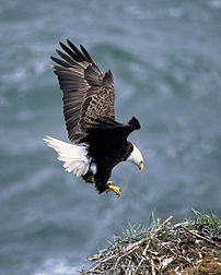Adult landing on nest